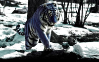 Maltese_Tiger_by_Guiam