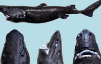 Tiburón linterna ninja (Etmopterus benchleyi)