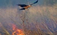 Rapaces australianas aprenden a usar el fuego para cazar