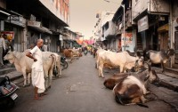 Un medicamento antiinflamatorio es el responsable de la extinción del buitre en la India