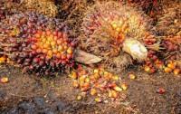 Frutos de la Palma de cuyo prensado se obtiene el aceite | Imagen Pixabay