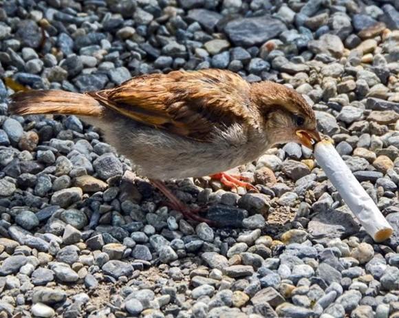 Pájaros que han aprendido a usar colillas de cigarro para repeler insectos