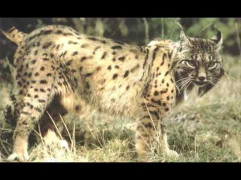 ALDEA GLOBAL - EL LINCE IBERICO