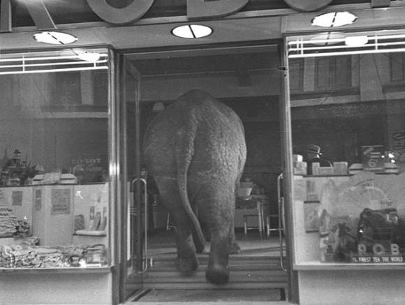 Elephant's tea party, Robur Tea Room, Sydney, 24 March 1939 / Sam Hood