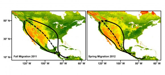 Rutas migratorias del zorzalillo de Swainson