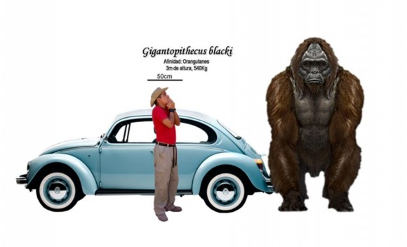 Comparativa del tamaño del Gigantopithecus blacki